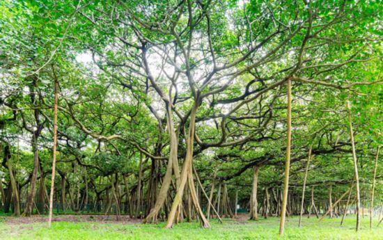 福州西禅寺古榕树年代_古榕树_古榕树下与榕树下哪个好些