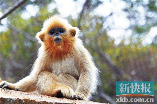新快报讯 记者黎秋玲 通讯员梁毅飚报道去年3月1日,广州动物园一对堪称恩爱典范的年轻川金丝猴夫妇迎来爱情结晶,猴年喜得金猴仔!而且,那可是真正的金猴哦!因为川金丝猴被称为最美丽的猴子金色,又是比大熊猫还稀有的动物金贵!现在,小川金猴一周岁了,活泼可爱,是时候隆重推出啦。广州市动物园邀请市民一起给他起个有意义的名字!