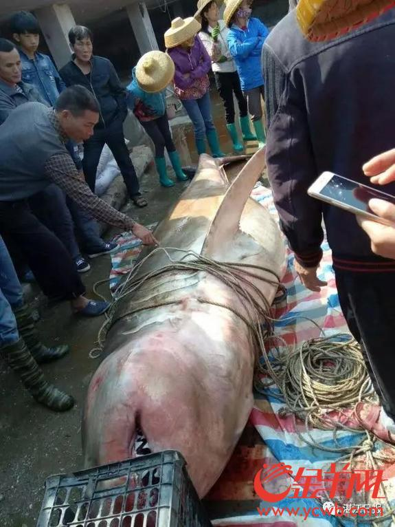 一条1000多斤的巨大黑印真鲨现身