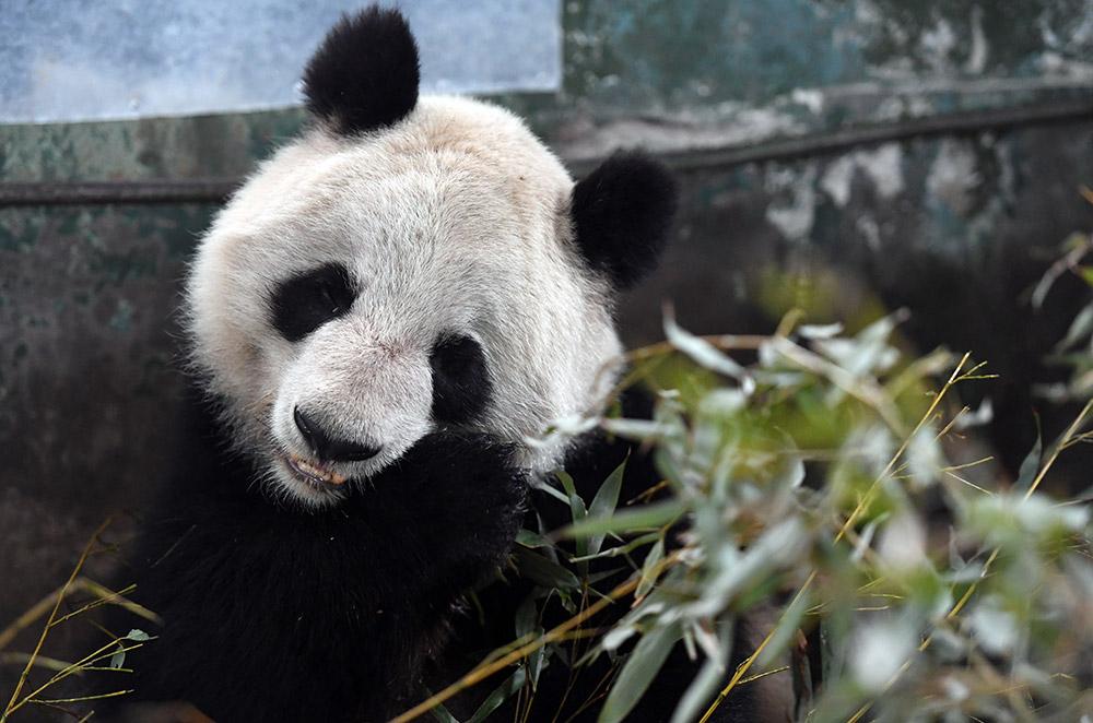 """3月13日,在兰州市动物园大熊猫馆,大熊猫""""蜀兰""""在吃竹子."""