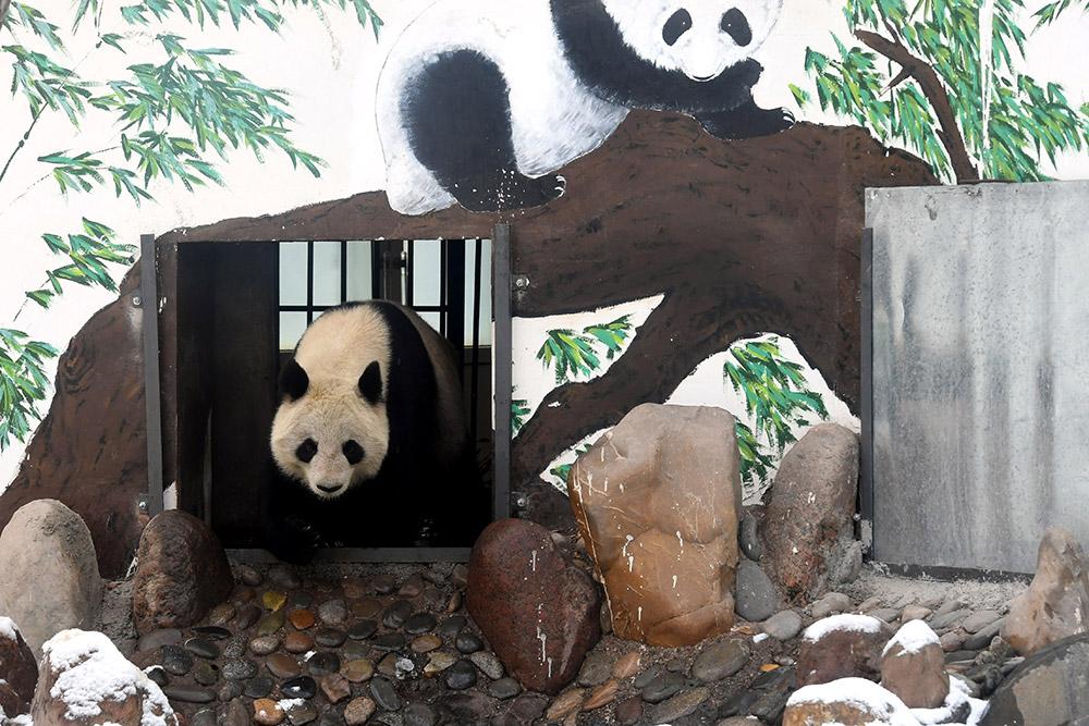 """兰州市动物园大熊猫""""蜀兰""""将被异地代养"""