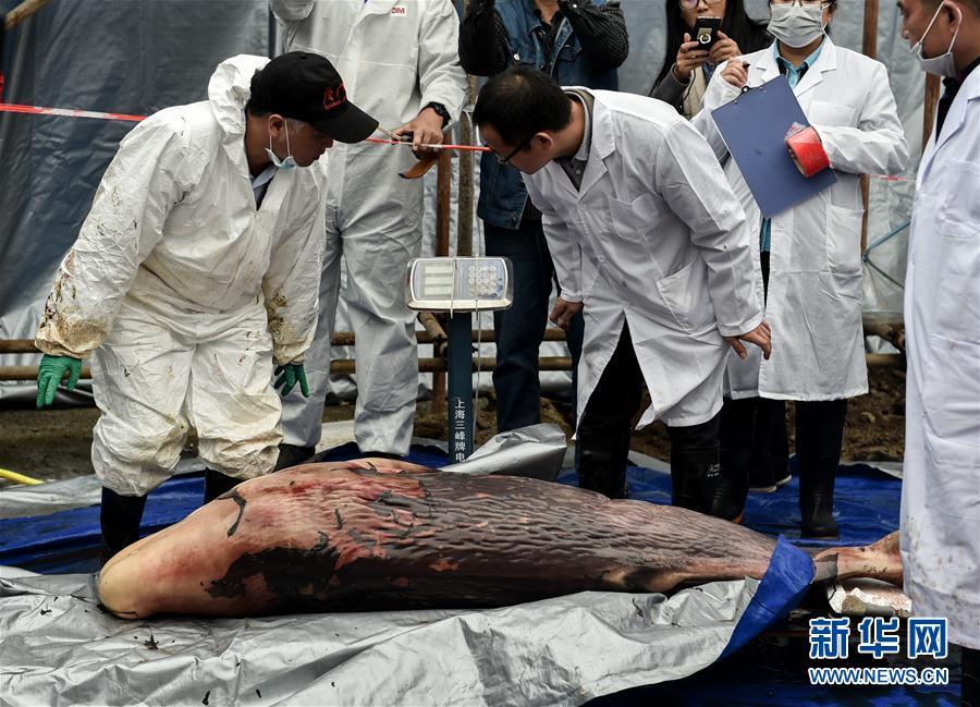 惠州港搁浅死亡抹香鲸已怀孕 解剖遗体发现胎儿