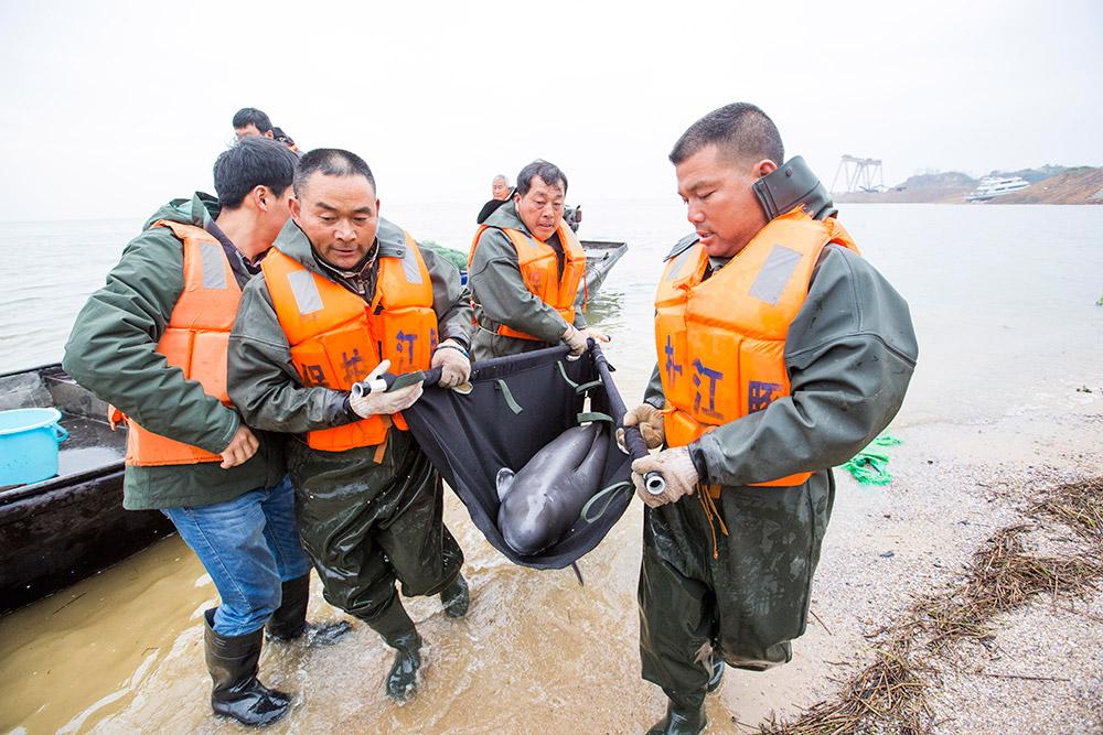 江西鄱阳湖八头江豚完成跨省外迁
