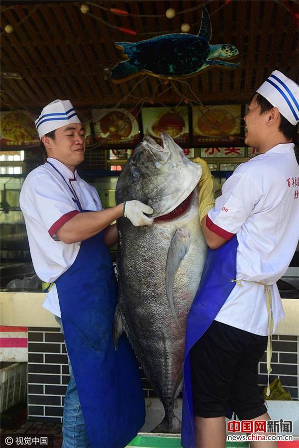 """海南渔民捕获特大""""白吉""""鱼 长1.5米重89斤"""