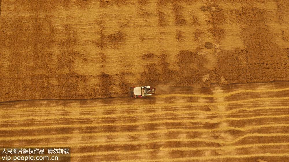 河南许昌小麦开镰收割 空中鸟瞰如大地铺金