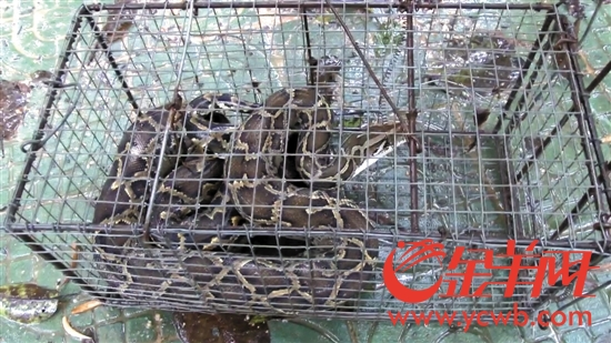 大蟒蛇夜闯养蜂场 森林消防人员将其送归深山