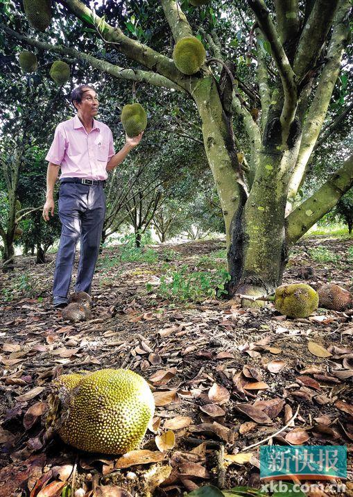 收成时节雨水太多 惠州菠萝蜜遭'致命打击'八成开裂