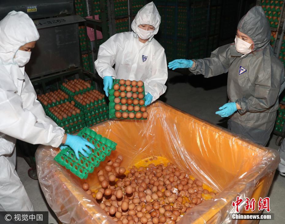 """韩国""""毒鸡蛋""""事件持续发酵 受污染鸡蛋被销毁"""