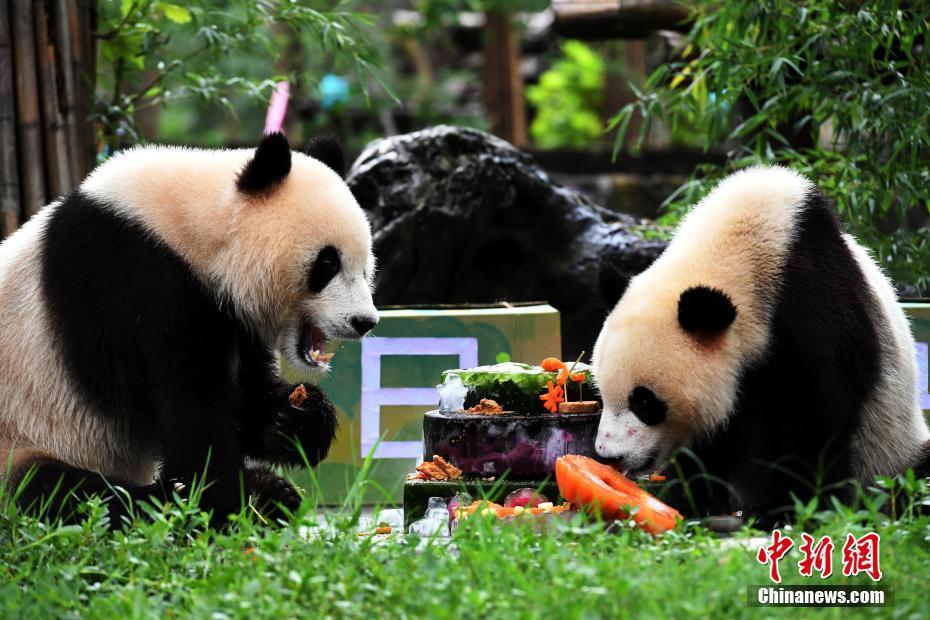 """网红双胞胎大熊猫""""冰冰""""""""青青""""欢度两岁生日"""