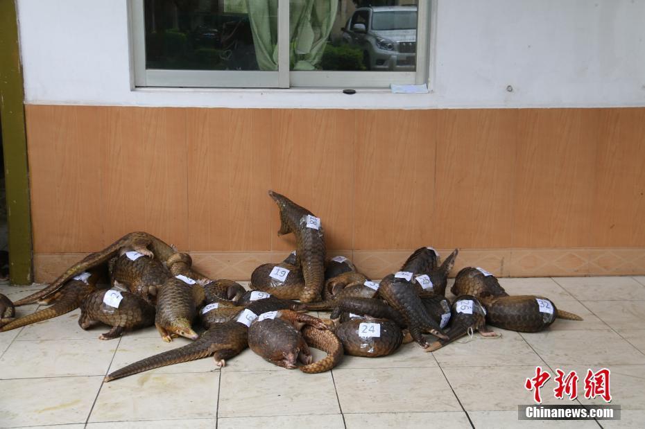 广西海警查获国家二级保护动物穿山甲34只