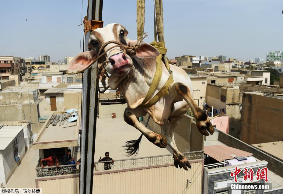 """巴基斯坦动用起重机运牲畜 牛在天上""""飞"""""""