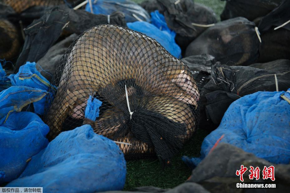 泰国海关查获一批走私活体穿山甲 共计136只