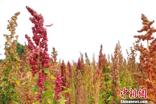 青海龙羊峡引种南美洲藜麦进入收割季