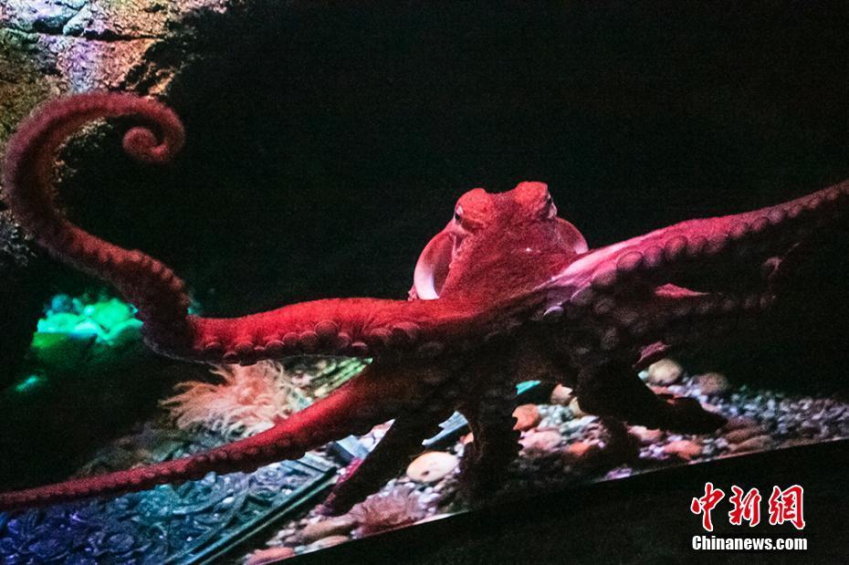 """重庆首只太平洋巨型章鱼举行""""生日派对"""""""