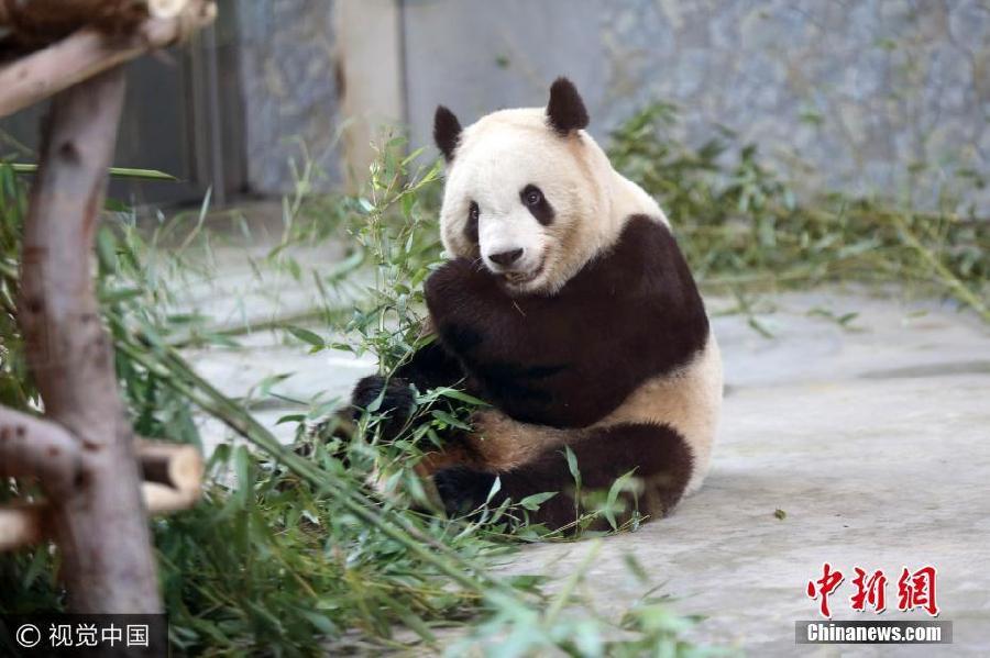 探访秦岭野生动物园生病熊猫 目前身体正在恢复中
