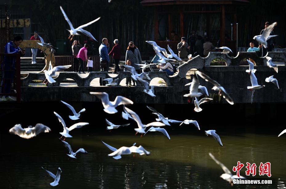 近百只红嘴鸥现身昆明城区水域