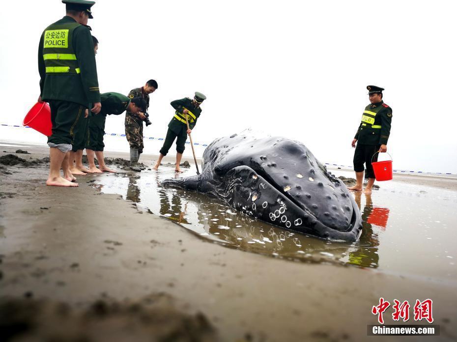 3吨重座头鲸搁浅启东海滩 营救5小时脱困