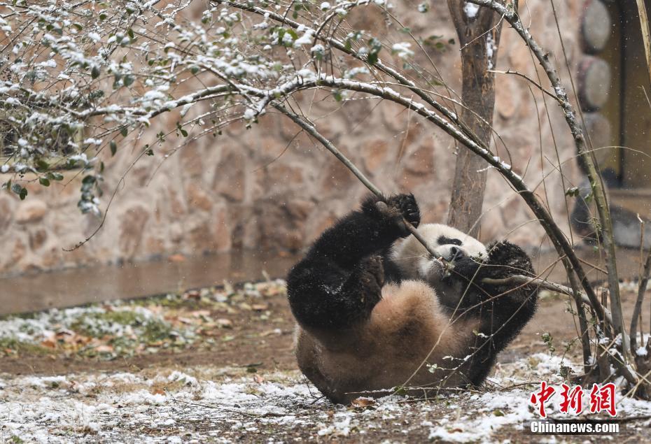 济南迎首场降雪 大熊猫雪中撒欢
