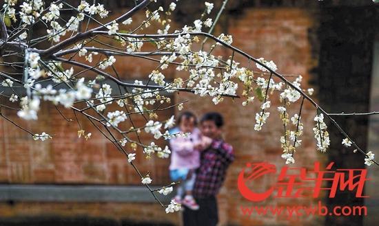 梅花盛放,文化飘香。梅花村举行第五届梅花文化节