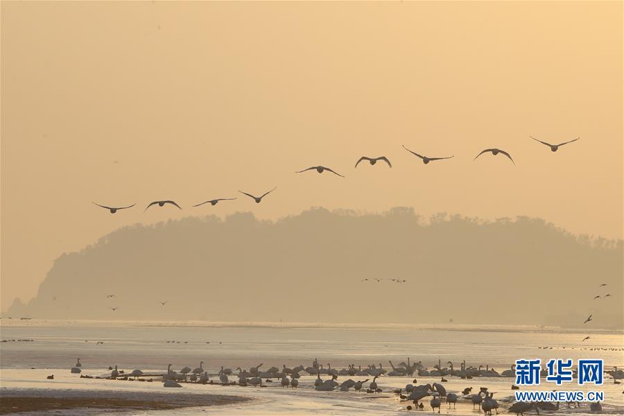 山东荣成天鹅在湖畔飞翔、休憩