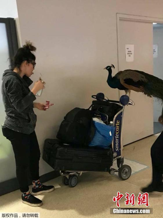 女子带孔雀登机遭拒绝 航空公司称孔雀体重超标