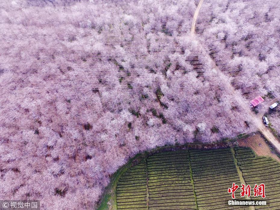 贵阳农场万亩樱花开放 高空俯瞰景色迷人