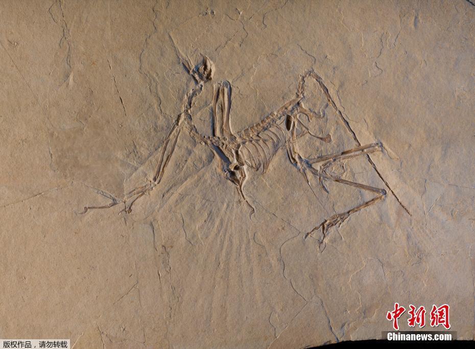 法国展出始祖鸟化石 发现于侏罗纪索伦霍芬石灰岩