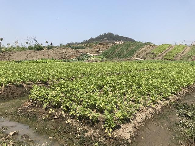 广东揭阳一菜地突然隆起3米高 吓跑菜农