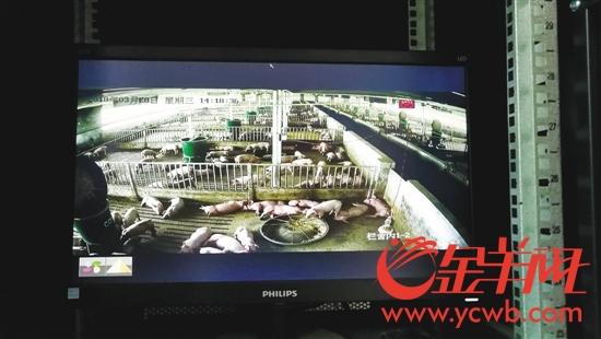 配套的物联网系统,可以24小时监控猪舍,并可远程调节控制养殖设备
