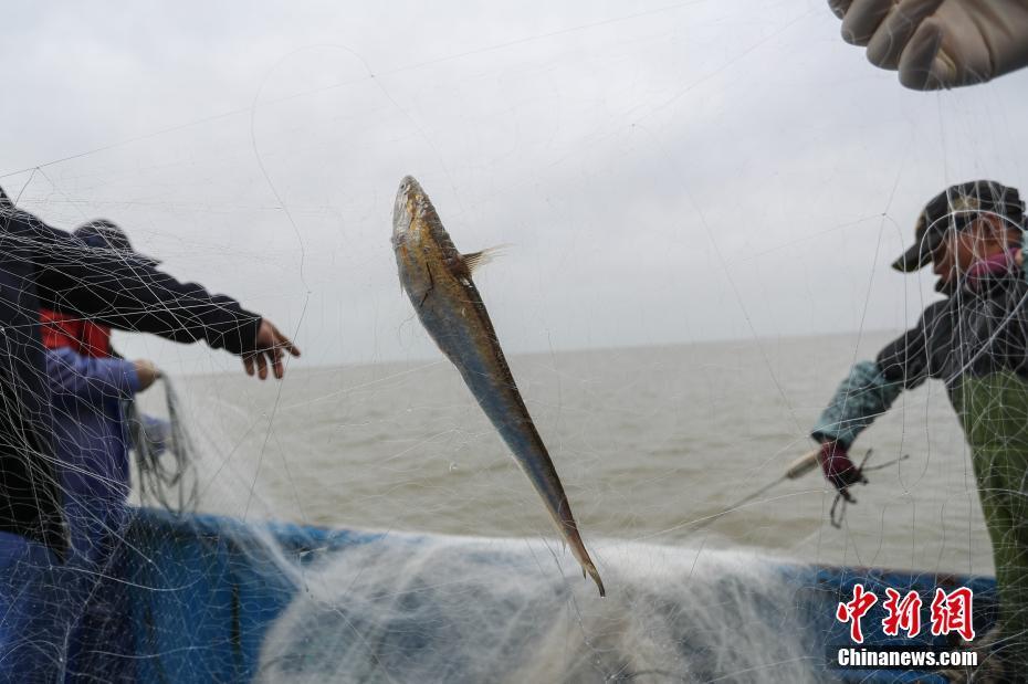 直击长江刀鱼从捕捞到餐桌全过程