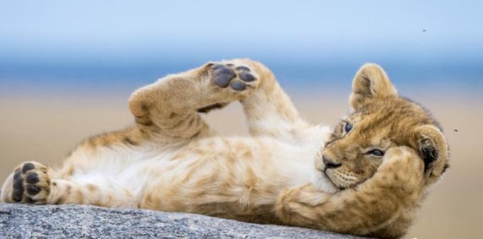 非洲小狮子躺岩石上休息 伸腿蹬脚萌态百出