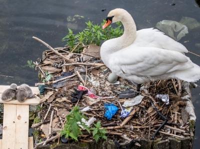 湖水污染严重 雪白天鹅在漂浮垃圾堆上筑巢