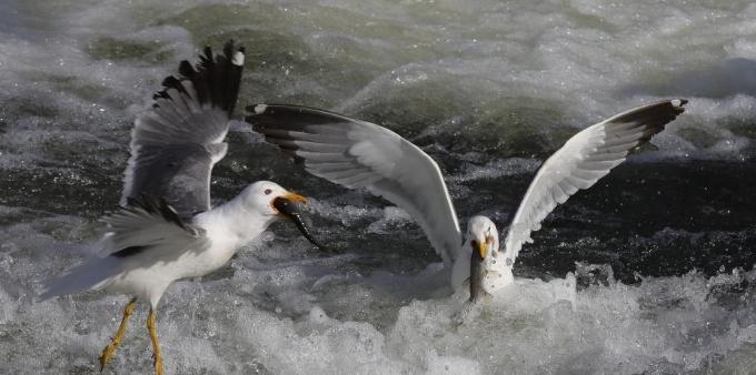 土耳其珍珠鲻鱼洄游产卵 海鸥激流中享大餐