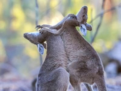 澳大利亞袋鼠寶寶當街開戰上演激烈拳擊賽