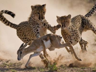 南非小跳羚遭獵豹合力圍捕 上演精彩追擊戰