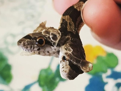 """罕见双头蛇成家庭宠物 拥有""""双重性格"""""""