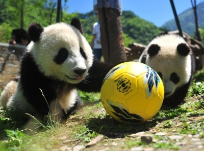 """大熊猫""""玩转""""世界杯 8只""""滚滚""""踢足球"""
