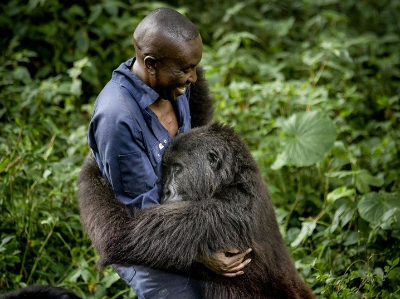 剛果大猩猩超黏人 賴飼養員身上要背背