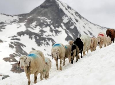 意大利高山牧羊排队爬雪山 景象壮观