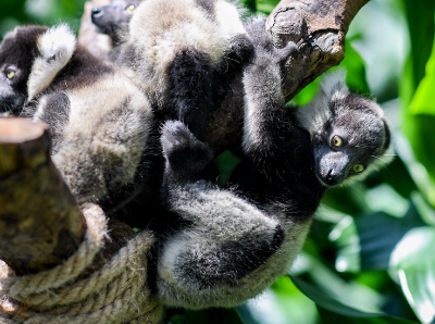 长隆诞下世界罕见的斑狐猴三胞胎