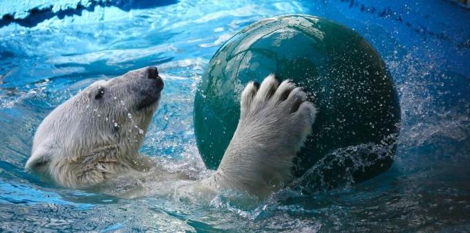 俄罗斯呆萌北极熊游泳消暑 花式玩球超惬意