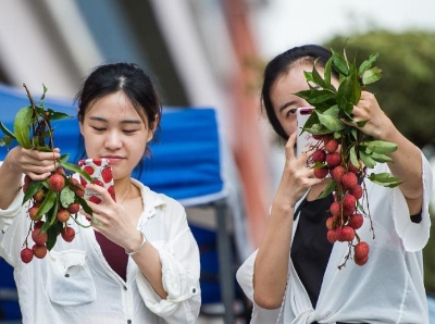 深圳大学荔枝丰收10万斤 免费发给学生