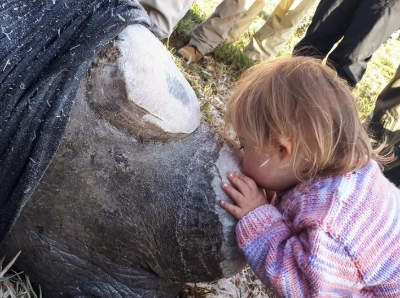 南非犀牛被锯掉牛角 小女孩献吻画面暖化