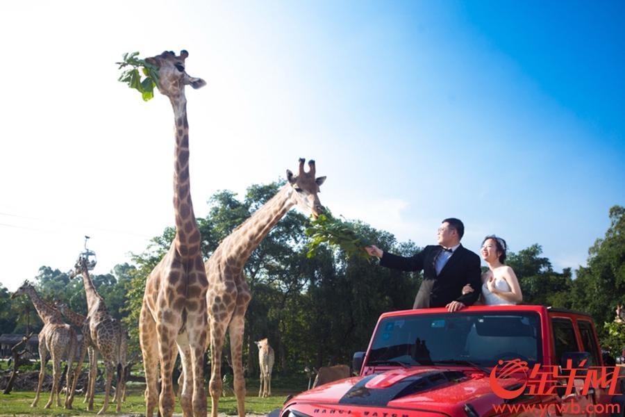 """2018年7月1日,""""情定长隆,爱在空中""""——第二届长隆空中婚礼在长隆野生动物世界浪漫举行。延续去年全球最大空中集体婚礼的极致婚礼仪式感,今年长隆空中婚礼致力为有情人打造更个性化定制梦幻婚礼,来自全国各地的百对新人除了收获来自全球500多种、超两万只珍稀动物的祝福以外,还跟全球国宝动物亲密互动,拍下动物主题专属婚纱大片  金羊网记者 宋金峪 摄"""
