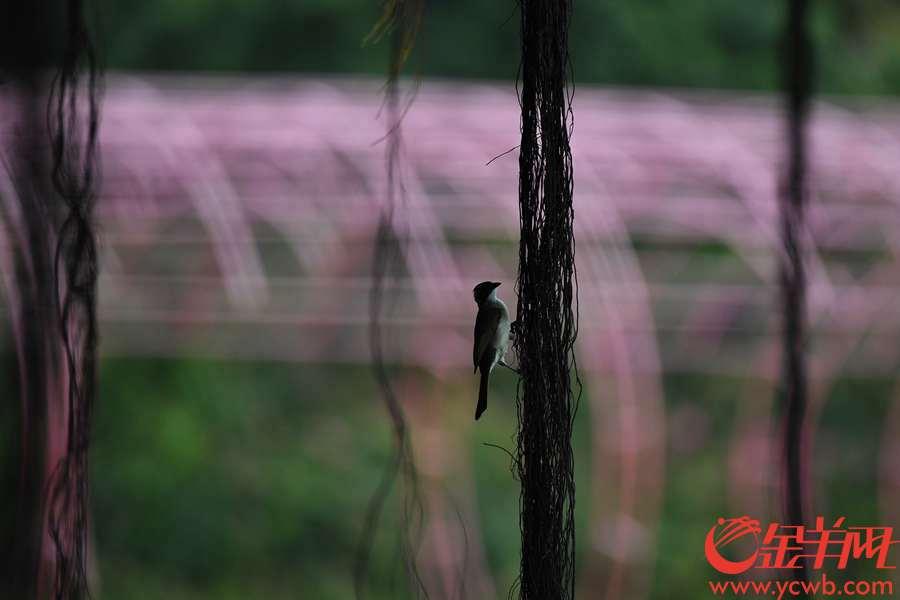 """盛夏,广州高温炎热,公园内的荷塘告别""""接天莲叶无穷碧,映日荷花别样红""""的盛景,换上一幅幅韵味无穷的水墨丹青,别样优美雅致。金羊网记者  陈秋明  摄"""