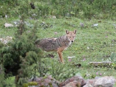 中国境内影像首次记录亚洲胡狼