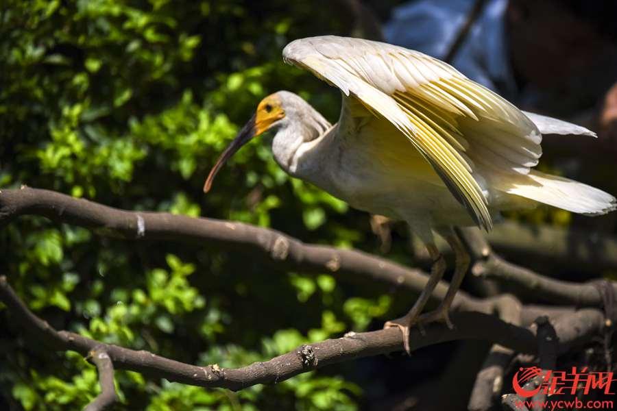 """2018年7月11日,有飞鸟界""""大熊猫""""之称的朱鹮亮相广州长隆飞鸟乐园。据了解,朱鹮已被列入《世界自然保护联盟》(IUCN)2012年濒危物种红色名录,上世纪60年代一度被认为在我国野外灭绝。 当天,8只朱鹮幼鸟首次与公众见面,几个月大的幼鸟没有成年朱鹮标志性的鲜红色头冠,黄脸、灰毛,萌趣可爱。 金羊网记者 宋金峪 摄"""