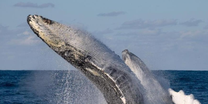 """座头鲸演绎""""双人舞"""" 海面翻滚跳跃"""