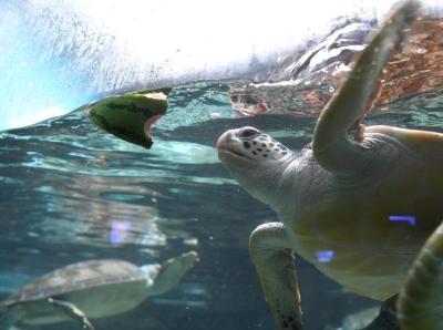 合肥高温来袭 海龟享用西瓜