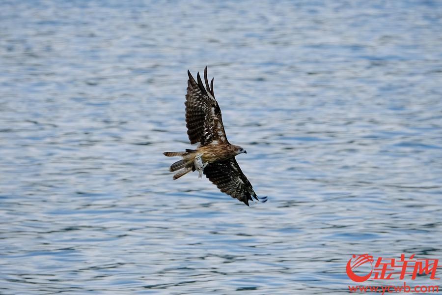 列入中国国家重点保护野生动物二类保护动物名录。